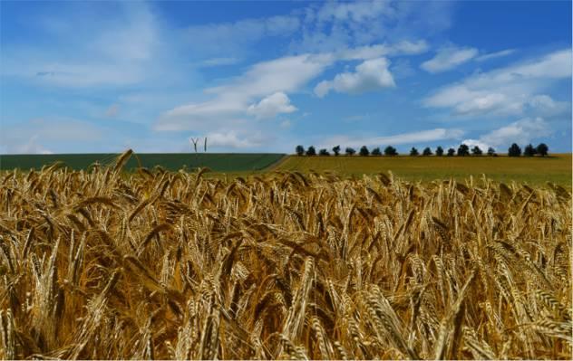 白色的云朵和蓝蓝的天空下的麦田高清壁纸