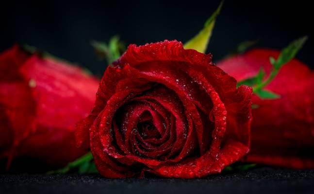 芽,宏,滴,花,玫瑰