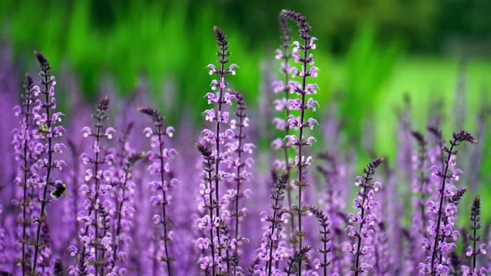 紫色的薰衣草田地选择性焦点摄影高清壁纸