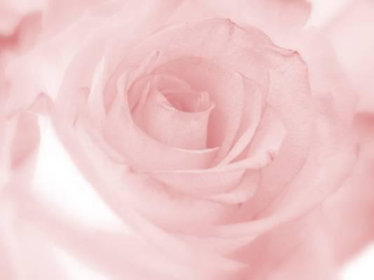 粉红色的玫瑰高清壁纸的特写摄影
