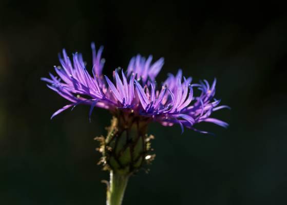 紫色的花,矢车菊高清壁纸摄影