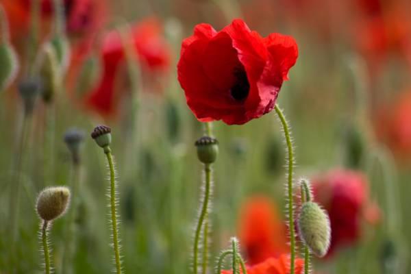 红色的花瓣花高清壁纸的选择性焦点摄影