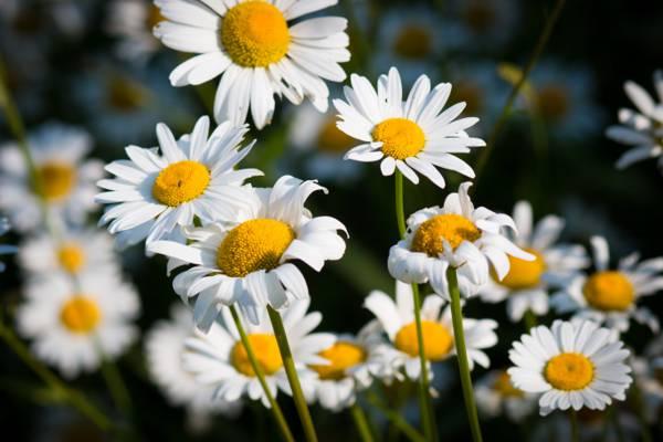 白天雏菊在白天选择性焦点摄影,德卢斯高清壁纸