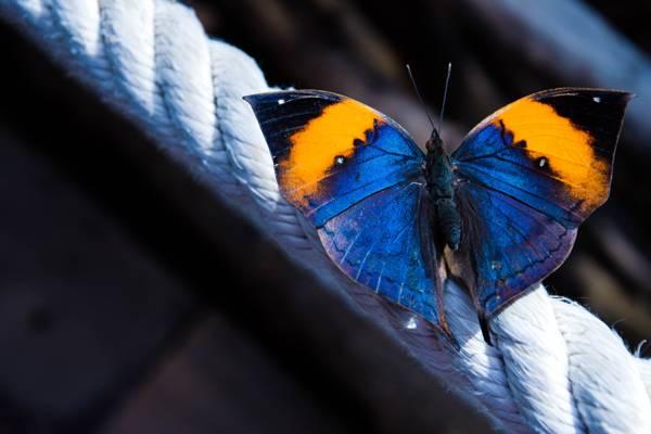 壁纸绳,宏,Kallima,蝴蝶,翅膀