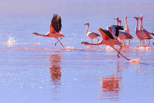 一群小火烈鸟在平静的海面高清壁纸