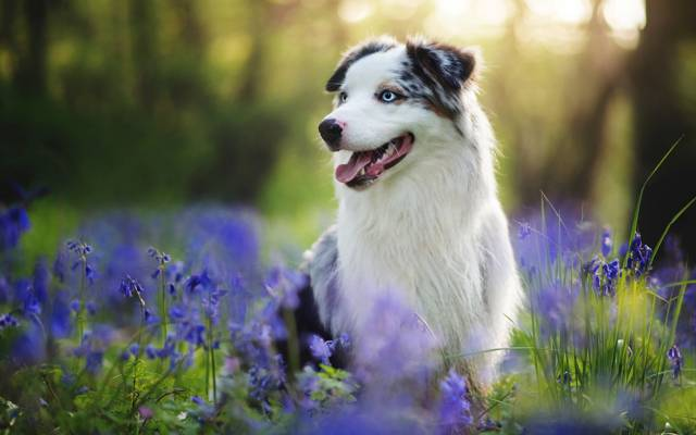 每个,狗,澳大利亚牧羊犬,夏天