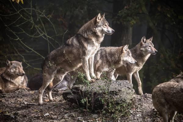 狼在白天高清壁纸