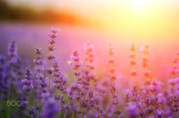 薰衣草,光,油漆,鲜花