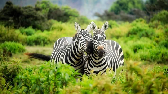斑马,植被,果岭,肯尼亚,二,对,灌木丛,非洲,偶蹄动物,野生动物