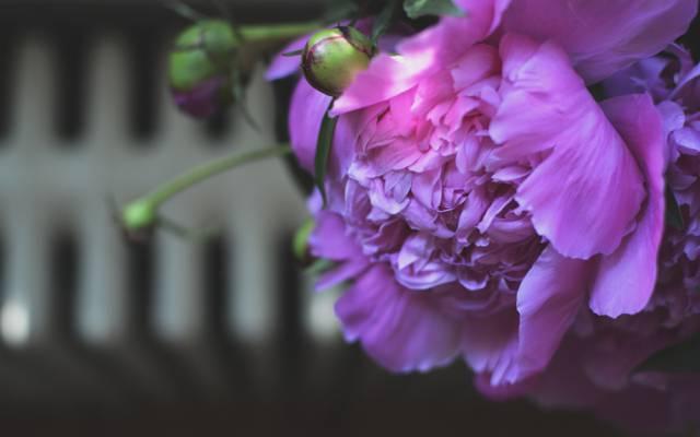 花,花瓣,牡丹