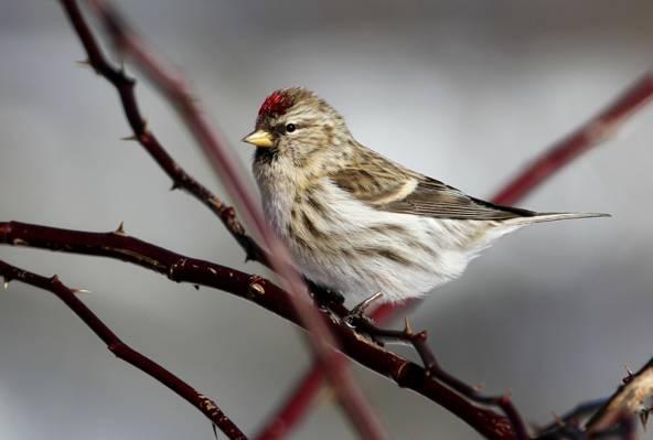 在树枝上的棕色的鸟,常见的redpoll高清壁纸