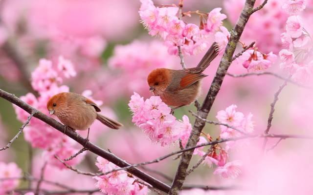 花,双,鸟,树,花园,分支机构,春天