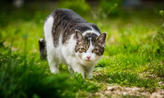 银色和白色的猫,绿草草坪,donzdorf高清壁纸的选择性焦点摄影