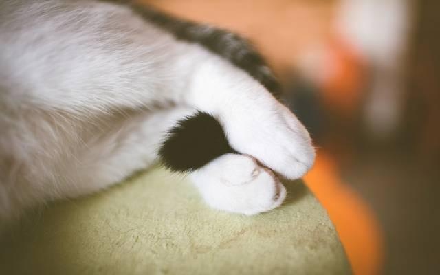 壁纸猫,尾巴,爪子,白,腿