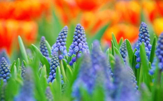 壁纸花,宏,蓝色,模糊,穆斯卡里,字段