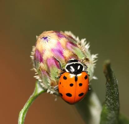 橙色和黑色的瓢虫,矢车菊高清壁纸的浅焦点摄影镜头