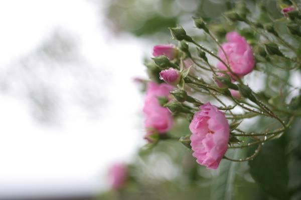 鲜花,宏,性质,玫瑰,雨,叶子,模糊,水,绿党,花瓣,布什,粉红色,滴眼液