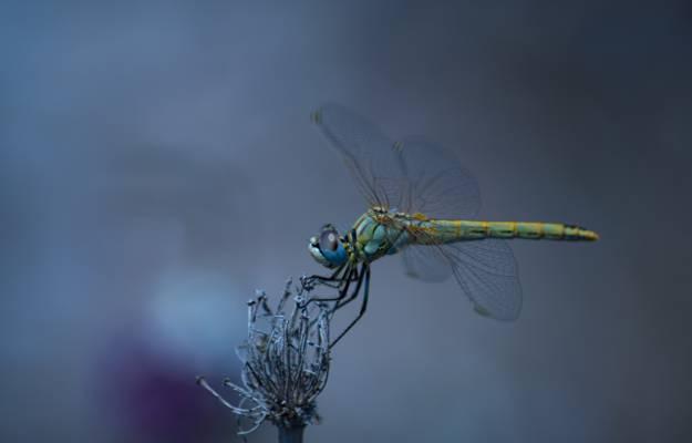 自然,昆虫,蜻蜓,翅膀