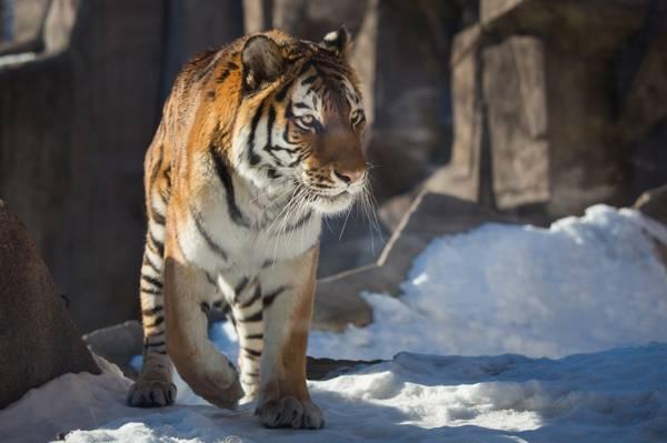 虎,捕食者,雪,野猫,冬天
