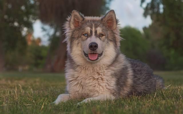 肖像,爱斯基摩狗,看,狗