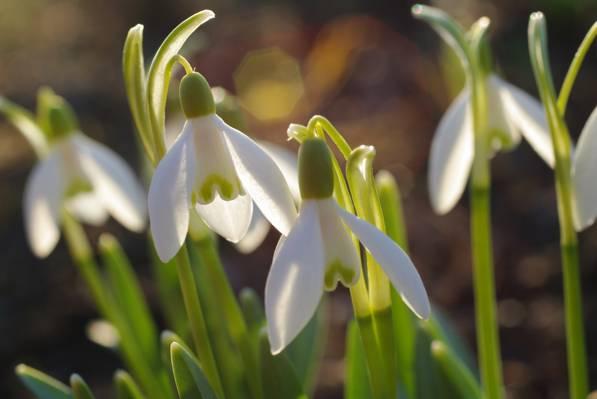 雪花莲,宏观,春天