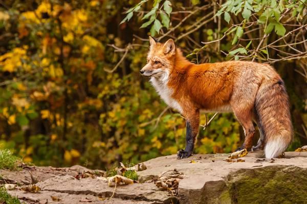 狐狸,狐狸,秋天,红色