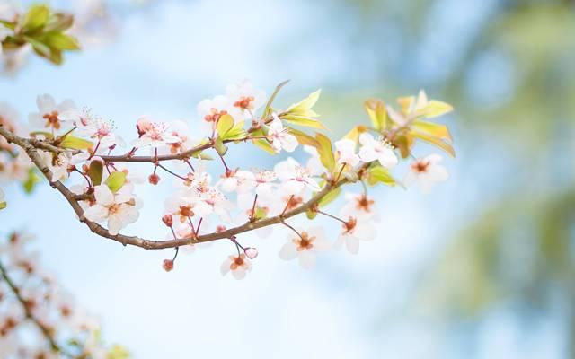 日系唯美樱花