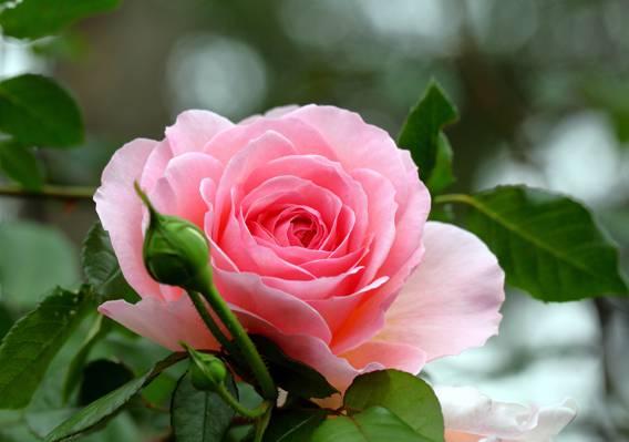 宏,芽,玫瑰