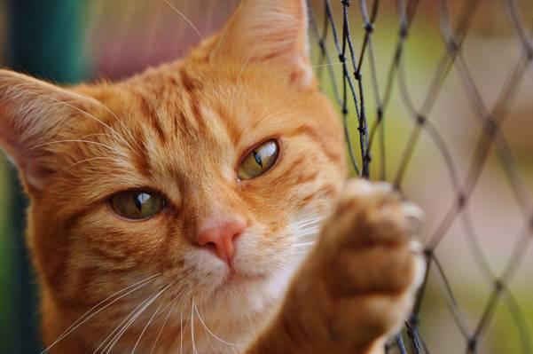 橙色虎斑猫高清壁纸