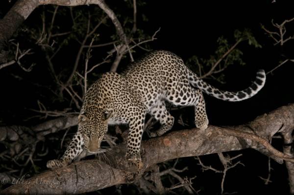 豹,晚上,在树上,野猫,捕食者