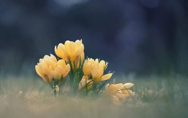 春天,鲜花,散景,番红花