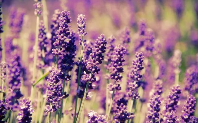 春天,鲜花,田野,薰衣草