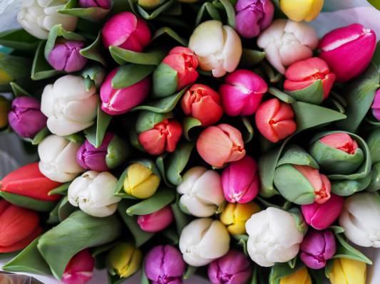 郁金香花朵高清壁纸