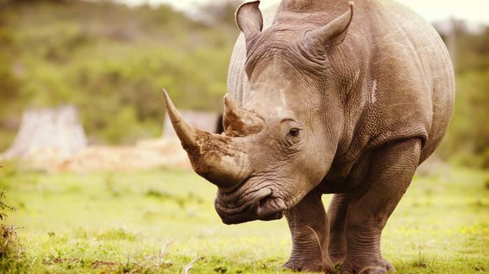 犀牛,非洲,大自然