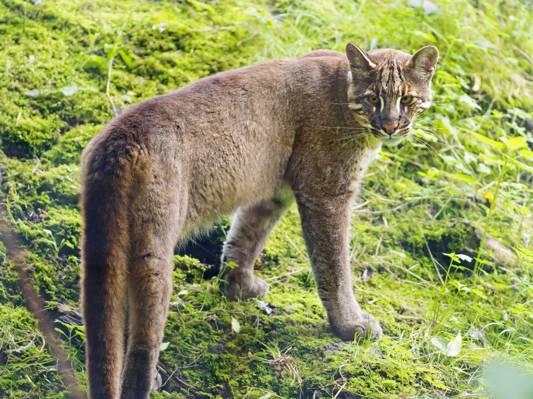 金猫,tamminga,猫,©Tambako捷豹