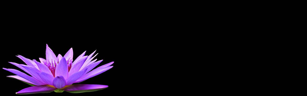 紫色睡莲高清壁纸
