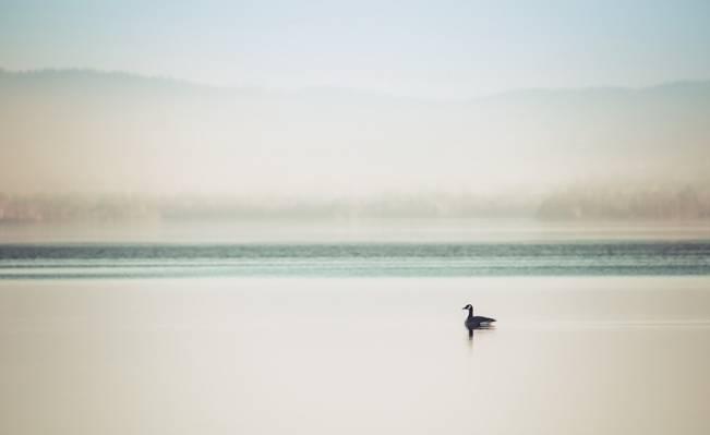 雾,湖,鸭