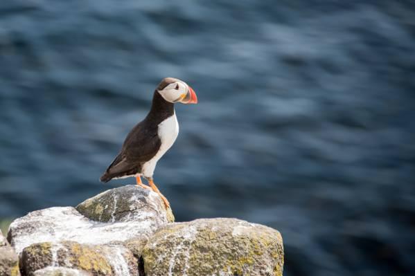 大西洋海雀栖息在岩石高清壁纸