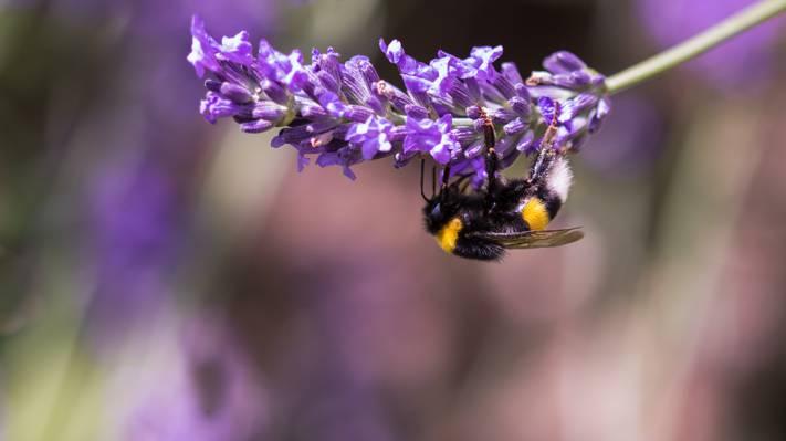 大黄蜂栖息在紫色豹花特写摄影高清壁纸