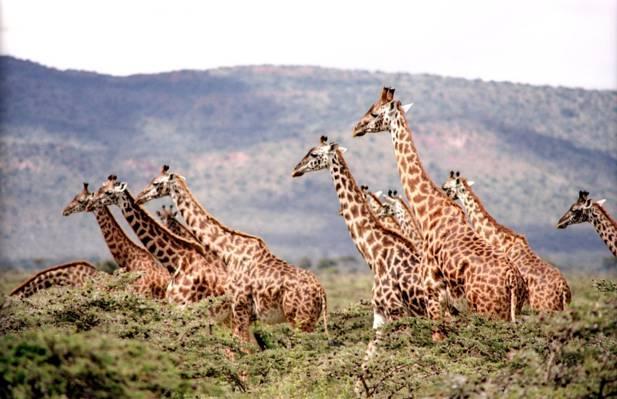长颈鹿森林高清壁纸上的照片