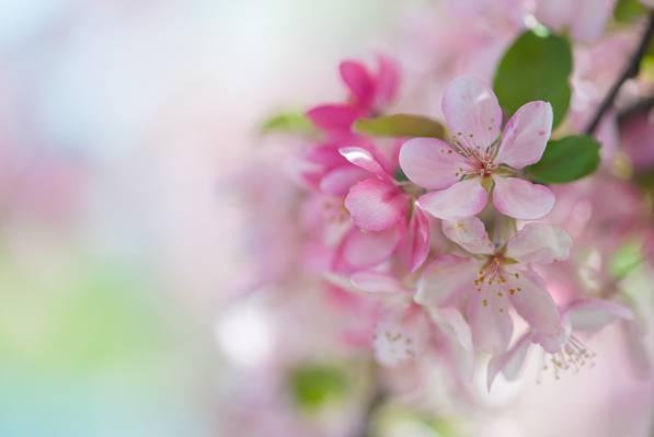 柔情,樱花,春天,粉红