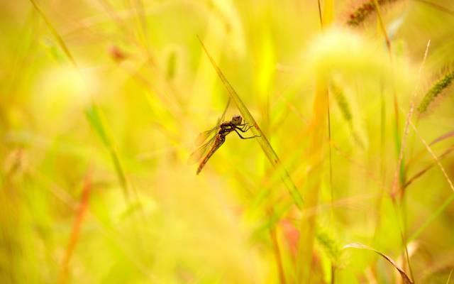 夏天,草,小穗,蜻蜓,叶子