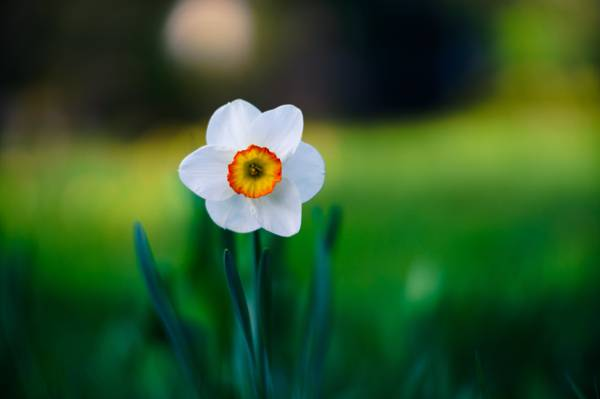 白色的水仙花高清壁纸的选择性焦点摄影