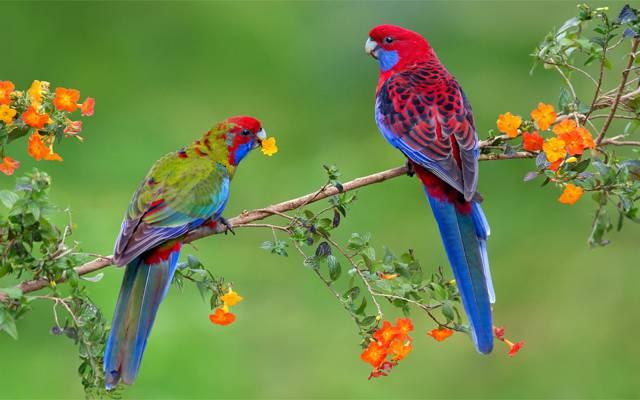 鲜花,鹦鹉,明亮,异国情调,对,鸟,Rozella,分支机构