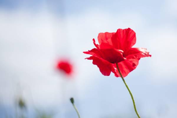 红色花与绿色的茎,英格兰高清壁纸