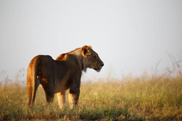 狮子在白天高清壁纸的照片