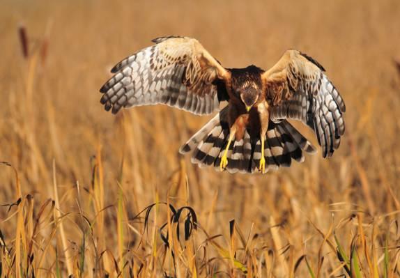 白色,棕色和黑色的老鹰高清壁纸