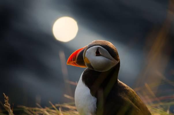大西洋海雀在夜间高清壁纸的浅摄影