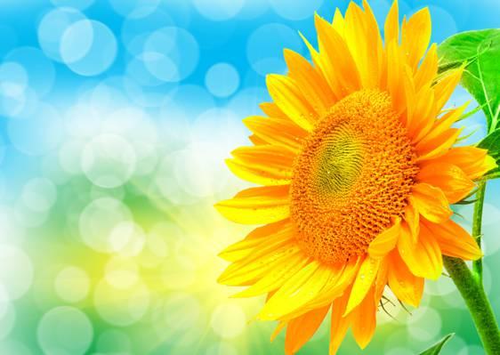 向日葵,Blik,花瓣,光,性质