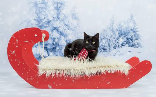 猫,拍摄,绿眼,黑色,围巾,幻灯片,新年,树林,圣诞节,背景,雪,红色,谎言,猫,...